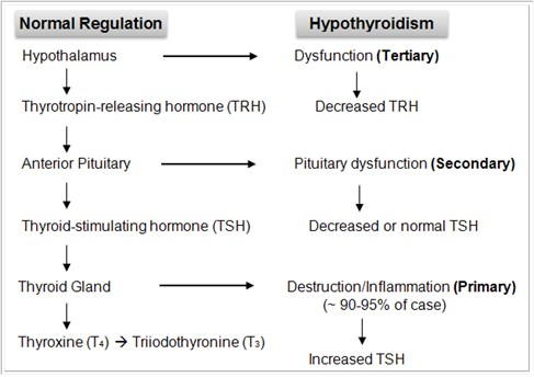 1-Image-Normal Regulation Hypothyroidism-Pathophisiology-Hypothyroid