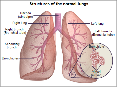 Structures of the normal lungs